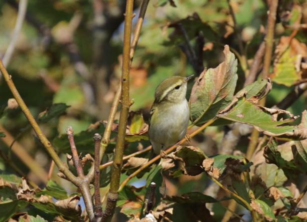yellow-browed-warbler-at-spurn